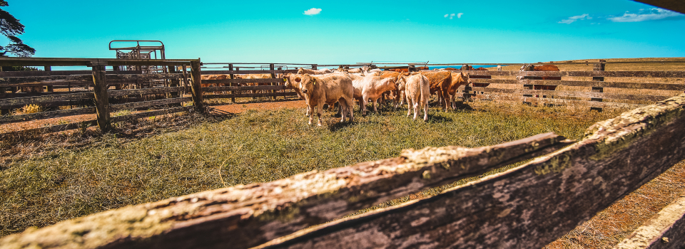 Canva-Herd-Of-Cows-In-Farm
